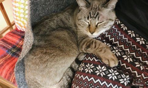 ニンゲンの脚に抱きついて寝ているシャムトラ猫