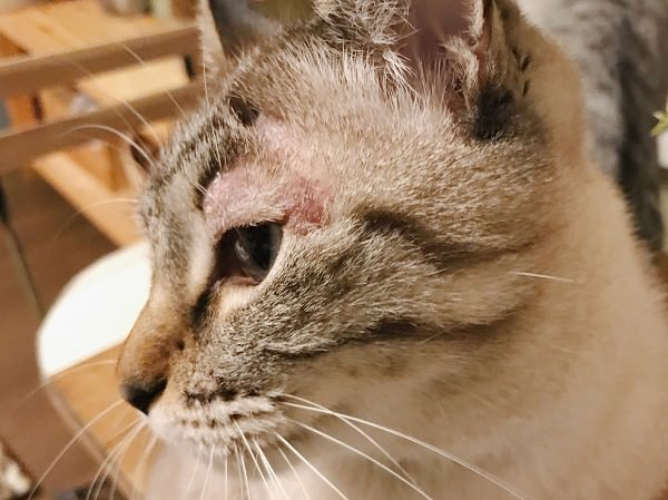 まぶたが赤く腫れているシャムトラ猫の横顔のアップ