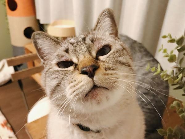 ちょっとブサ顔のシャムトラ猫