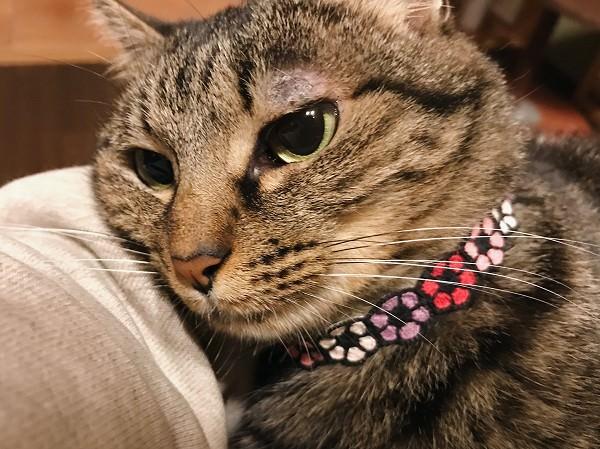 まぶたが赤く腫れてかさぶたのようなものができているキジトラ猫