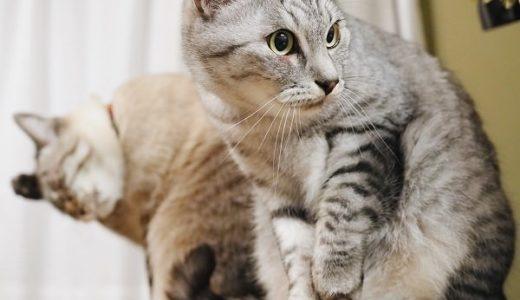 机の上に座っているサバトラ猫