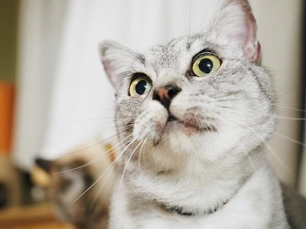 真菌で口の周りがハゲているサバトラ猫