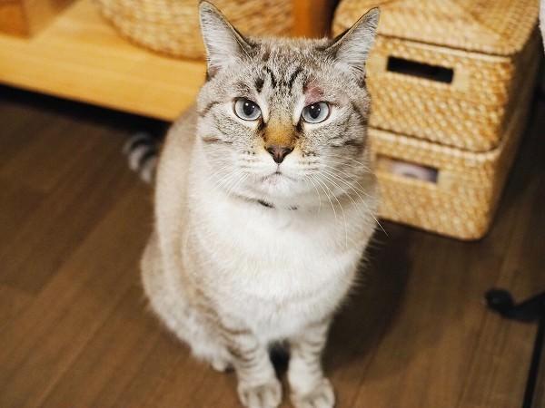 お座りしているシャムトラ猫。まぶたが赤く腫れている