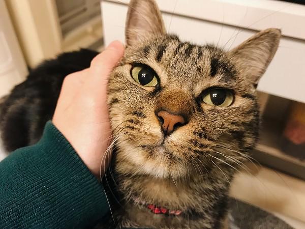 顔を撫でられているキジトラ猫