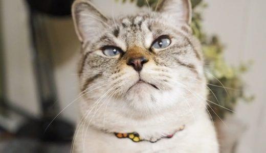 青い目のシャムトラ猫