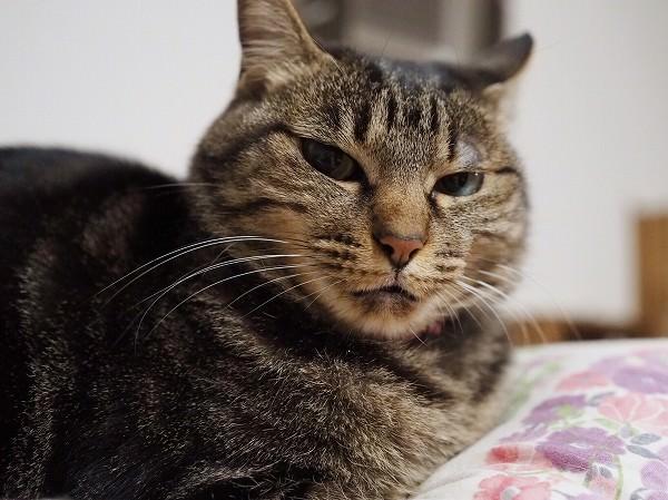 ジト目のキジトラ猫