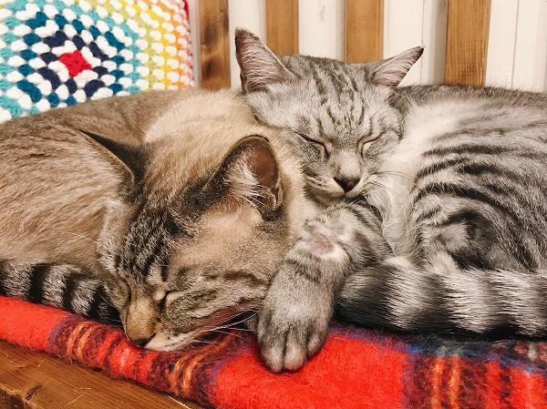 仲良く寄り添って眠る2匹の猫