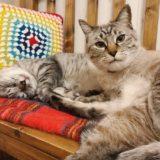 カメラ目線のシャムトラ猫と、寝ているサバトラ猫