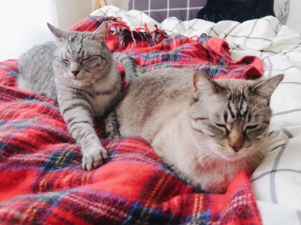 ベッドの上でまったりしているテト(サバトラ猫)とムク(シャムトラ猫)。