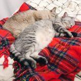 電気ひざ掛けの上に寝そべっているテト(サバトラ猫)とムク(シャムトラ猫)。