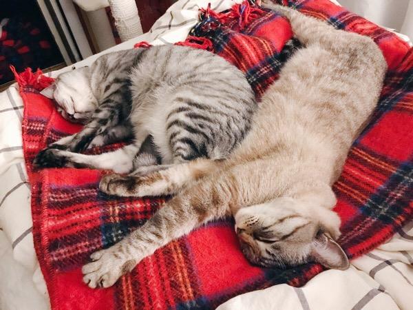 ぴーんと脚をのばして寝ているムク(シャムトラ猫)。