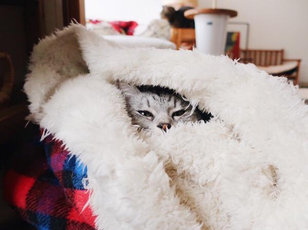 寝袋にすっぽり包まれているテト(サバトラ猫)。