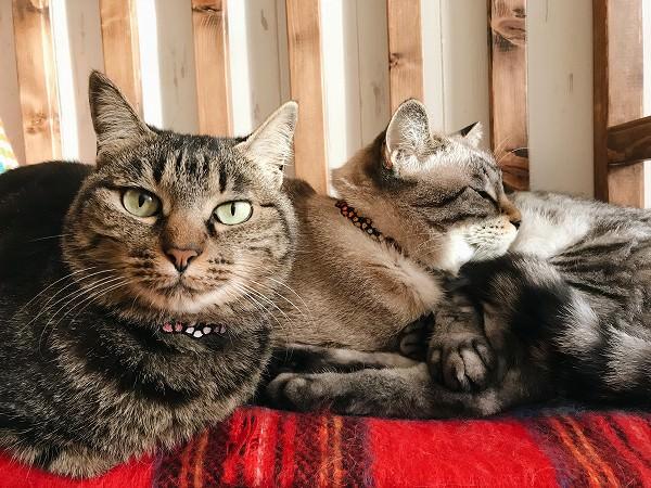 カメラ目線のキジトラ猫と、寝ている2匹の猫