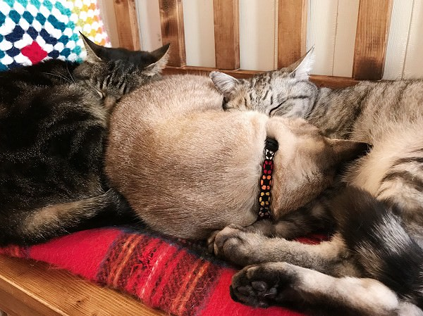 寄り添って眠る3匹の猫