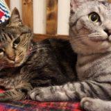 サバトラ猫とキジトラ猫の2ショット