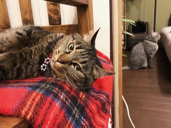 寝そべっているキジトラ猫
