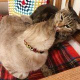 ムク(シャムトラ猫)の顔を舐めているジーナ(キジトラ猫)。