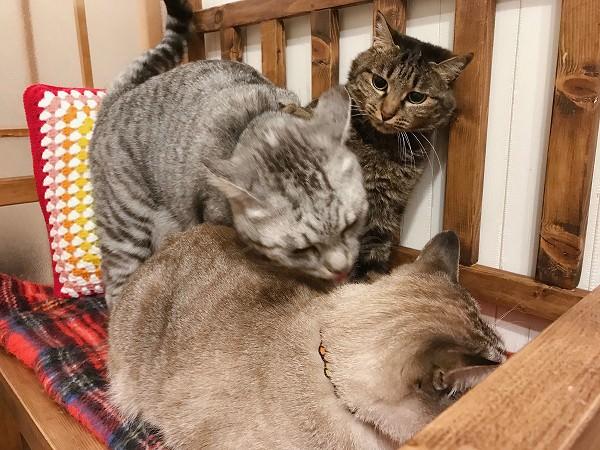 弟のムク(シャムトラ猫)を舐め回しているテト(サバトラ猫)。