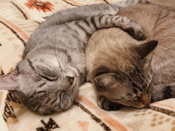 ムク(シャムトラ猫)を抱いて眠るテト(サバトラ猫)。