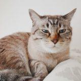 うつろな目をしているムク(シャムトラ猫)。