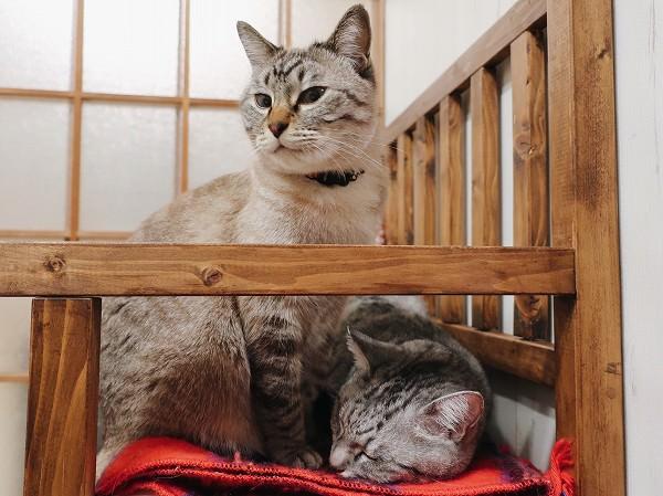 電気毛布の上に座っているムク(シャムトラ猫)と、寝ているテト(サバトラ猫)。