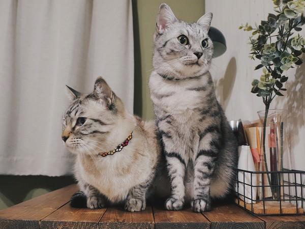 机の上に並んで座っている2匹の猫。