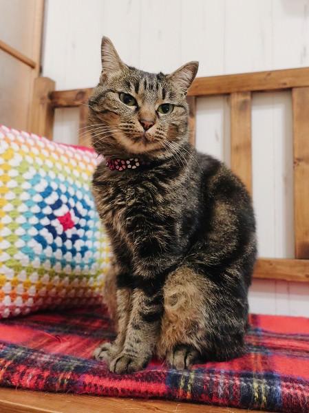 ベンチの上に座っているジーナ(キジトラ猫)。