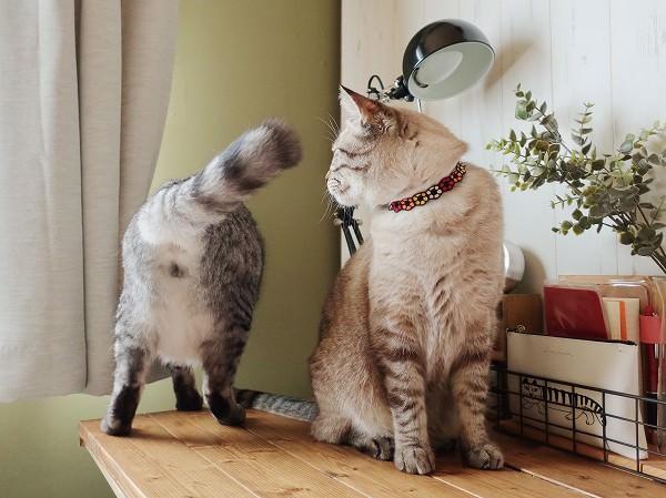 ニャルソックしているテト(サバトラ猫)のお尻を見ているムク(シャムトラ猫)。