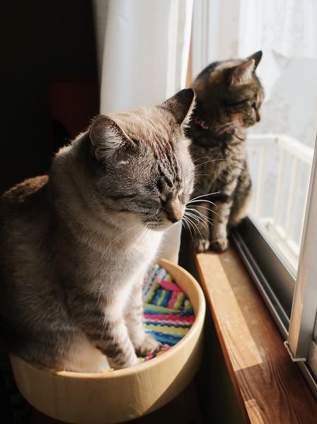窓辺にいるムク(シャムトラ猫)とジーナ(キジトラ猫)。