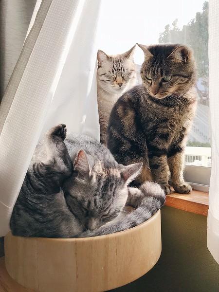 テト(サバトラ猫)を見ているジーナ(キジトラ猫)。