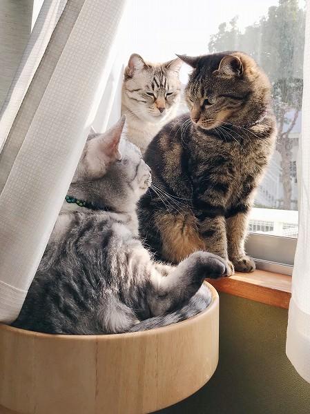 目が合ってしまい見つめ合うジーナ(キジトラ猫)とテト(サバトラ猫)。