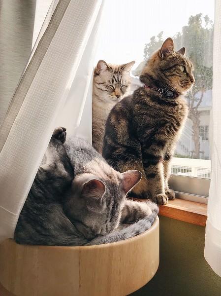 無視して窓の外を見るジーナ(キジトラ猫)。