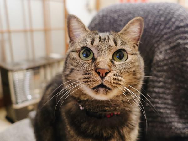 構ってほしいので小さく鳴いてアピールするジーナ(キジトラ猫)。