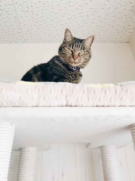 キャットタワーのてっぺんから怖い顔でこっちを見下ろしているジーナ(キジトラ猫)。