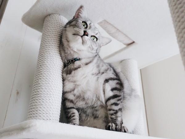 キャットタワーのポールに顔を擦り付けているテト(サバトラ猫)。