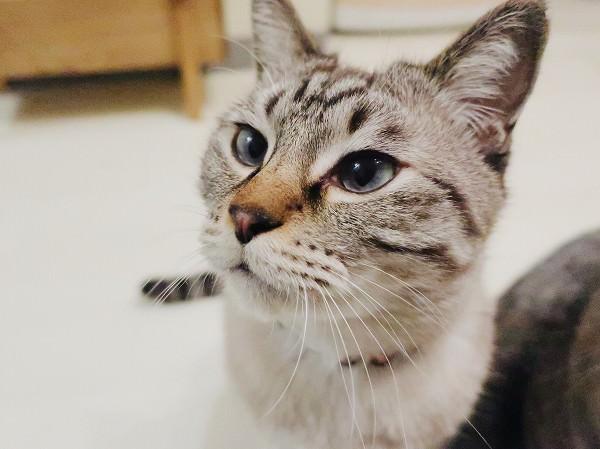 オリジンのフリーズドライ猫おやつ「ワイルドボア」をあげてみた