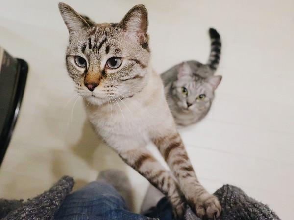 立ち上がっておやつを見ているムク(シャムトラ猫)。