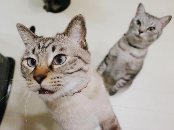 首を長くしておやつを待っている猫たち。