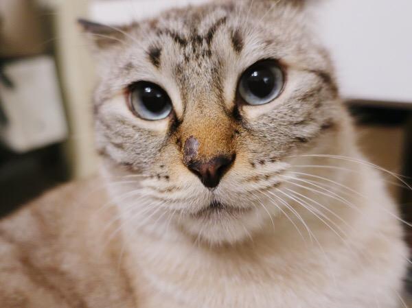 イケメンシャムトラ猫。