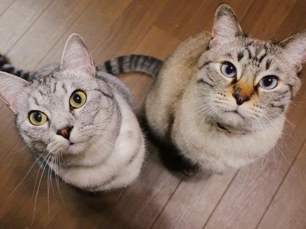 わくわくしながらおやつを見つめる2匹の猫。