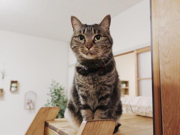 お座りしているジーナ(キジトラ猫)。