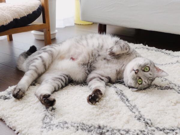 仰向けに寝っ転がっているテト(サバトラ猫)。お腹の傷が少し見えている。