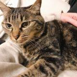 ニンゲンの膝の上でくつろいでいるジーナ(キジトラ猫)。