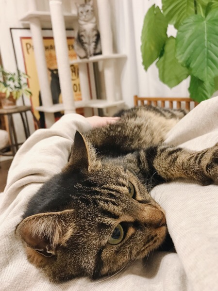 寝そべって甘えているジーナ(キジトラ猫)。
