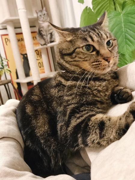 後ろのキャットタワーの上からテト(サバトラ猫)に見られている。