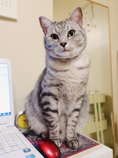 マウスパッドの上に鎮座するテト(サバトラ猫)。
