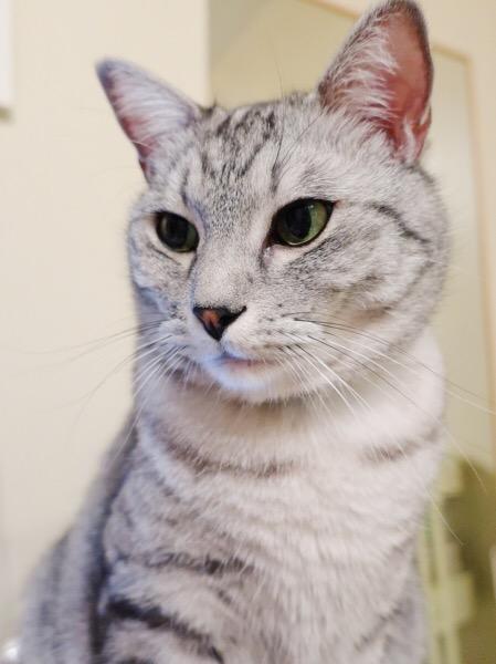 視線をそらすテト(サバトラ猫)。