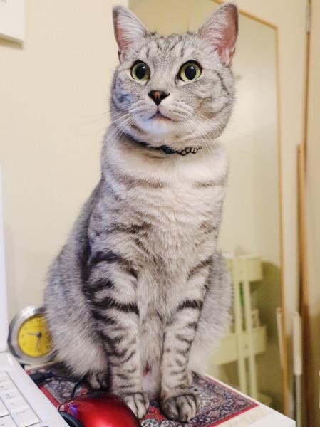 びっくり顔の猫。