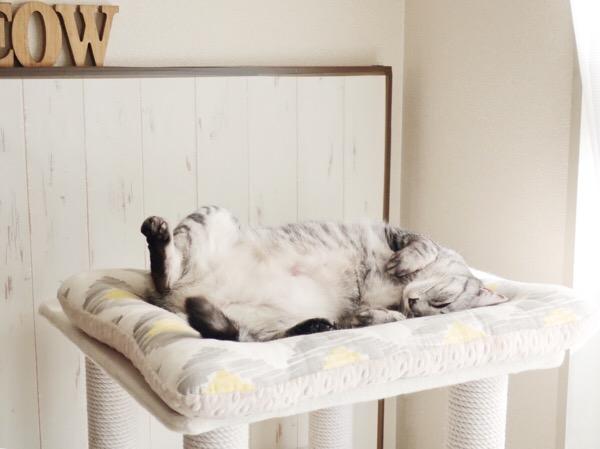 キャットタワーのてっぺんのベッドで寝ているテト(サバトラ猫)。