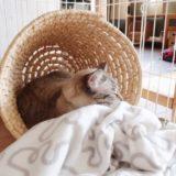 ランドリーバスケットの中で寝ているムク(シャムトラ猫)。